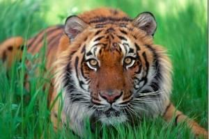 ¡Logro histórico!: La población de tigres en la India aumenta a 3.000