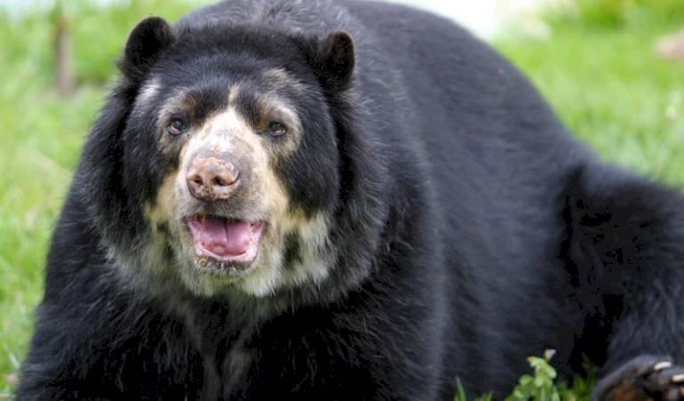 MAE presentó denuncia en Fiscalía por la muerte de un oso de anteojos en Cayambe Internet