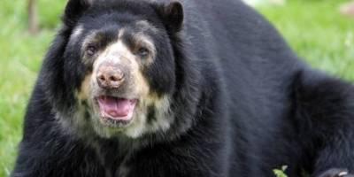 MAE presentó denuncia en Fiscalía por la muerte de un oso de anteojos en Cayambe