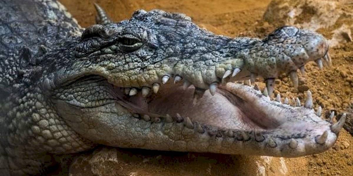 El objeto hallado dentro de un enorme cocodrilo que podría ser la pista clave para encontrar a un desaparecido