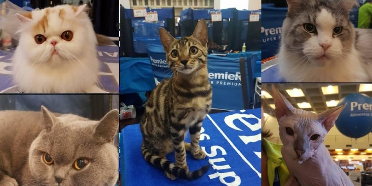 Avenida Paulista recebe mais de 300 gatos em grande evento felino