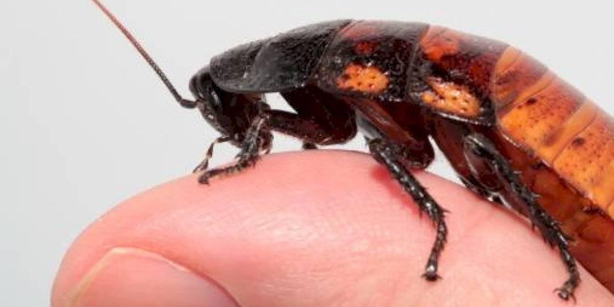 ¿No pudieron elegir otro insecto menos repugnante? crean un espeluznante robot-cucaracha que sigue funcionando aunque lo aplastes