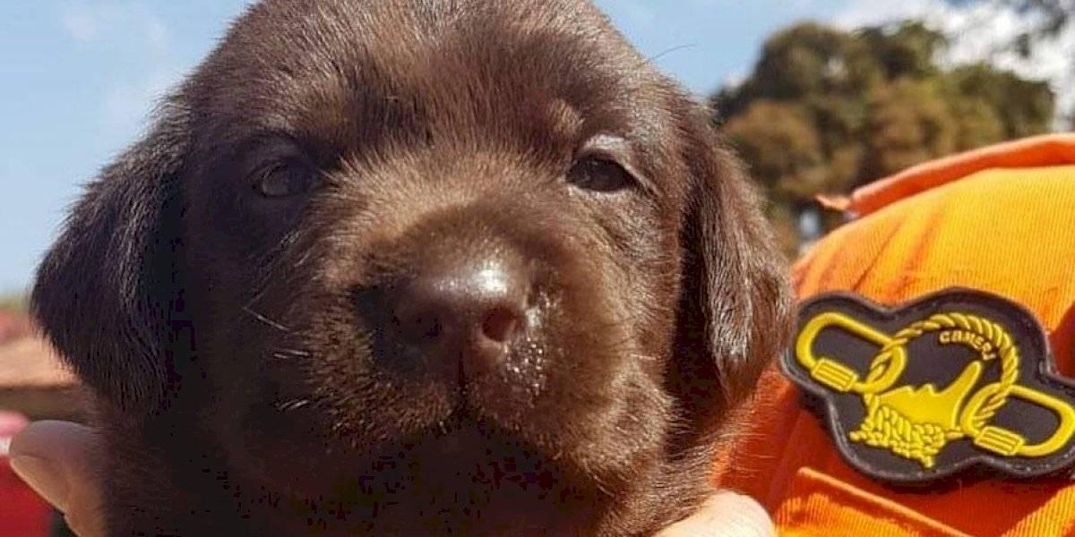 Filhotes de labrador dos Bombeiros do Rio recebem nomes sugeridos por internautas