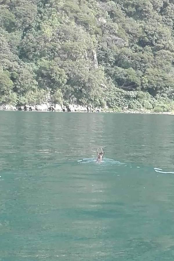 Venado nadando en el lago de Atitlán