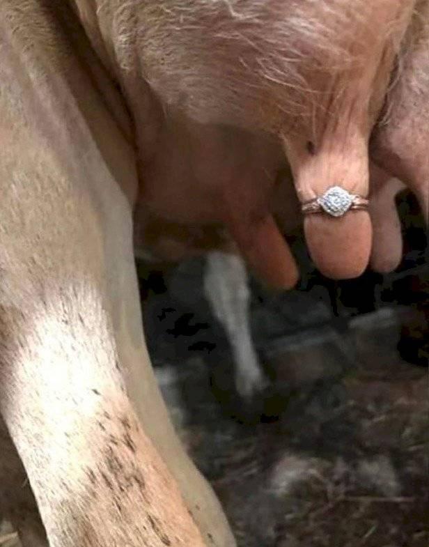 anillo vaca