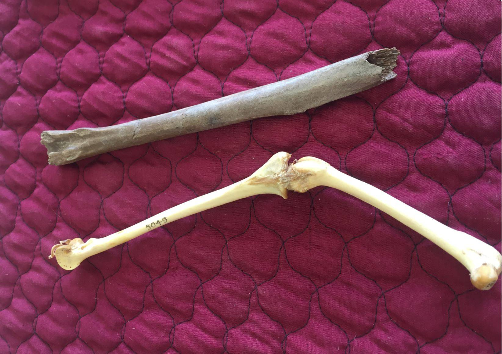 Científicos descubren un Loro prehistórico que llegó a medir un metro de altura