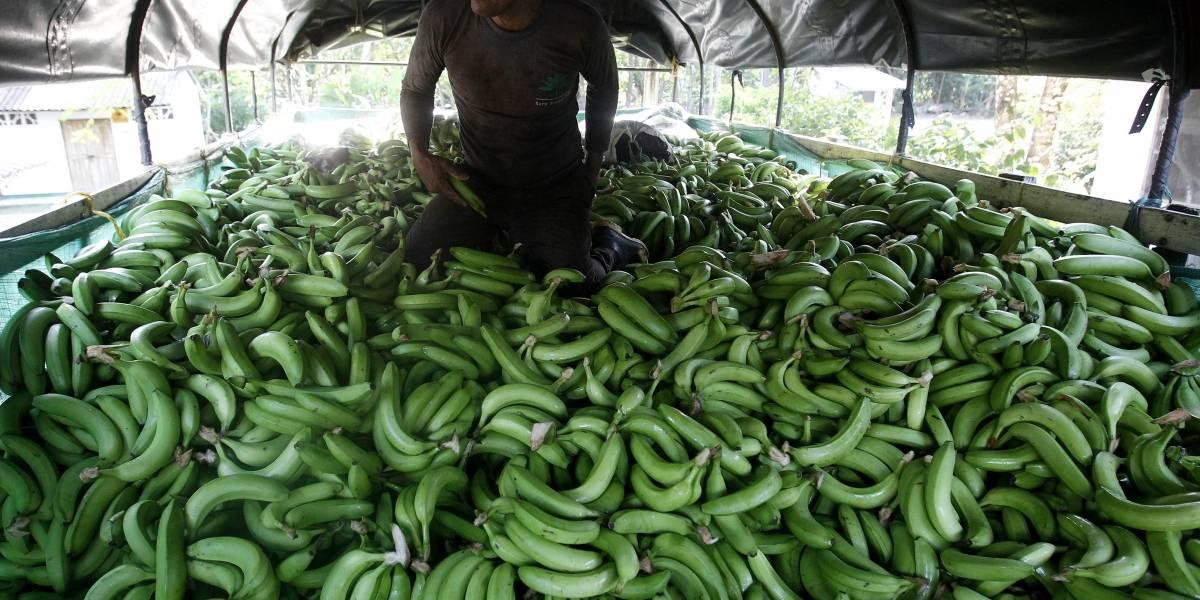 Colombia declaró emergencia nacional por presencia de hongo en zona bananera