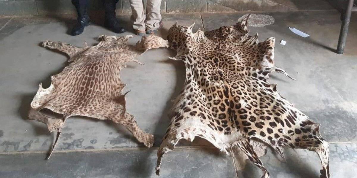 Decomisan pieles de animales silvestres y capturan a un hombre en Cobán