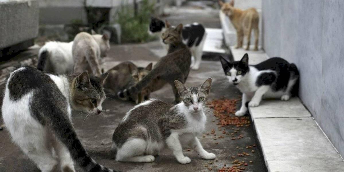 Gatos celebran su segundo día internacional del año este 8 de agosto