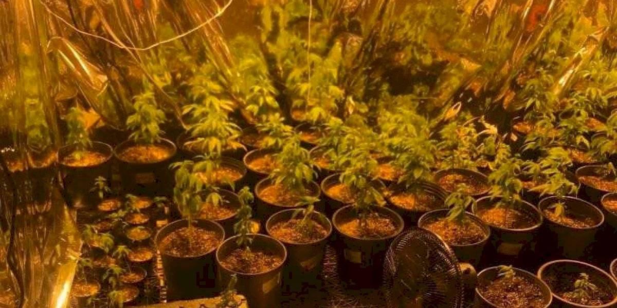 Arrestan a dos por usar casa como invernadero de marihuana en Morovis