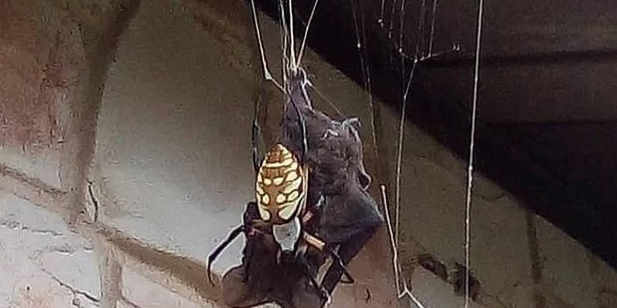 Ahora sabemos de qué están hechas las pesadillas: horripilante video muestra una gigantesca araña devorando a un murciélago