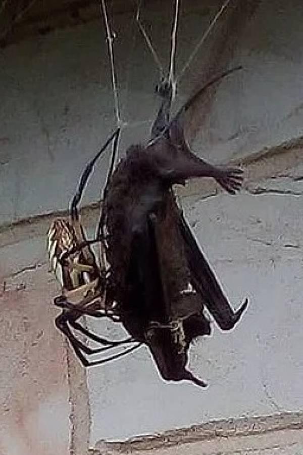 araña murciélago