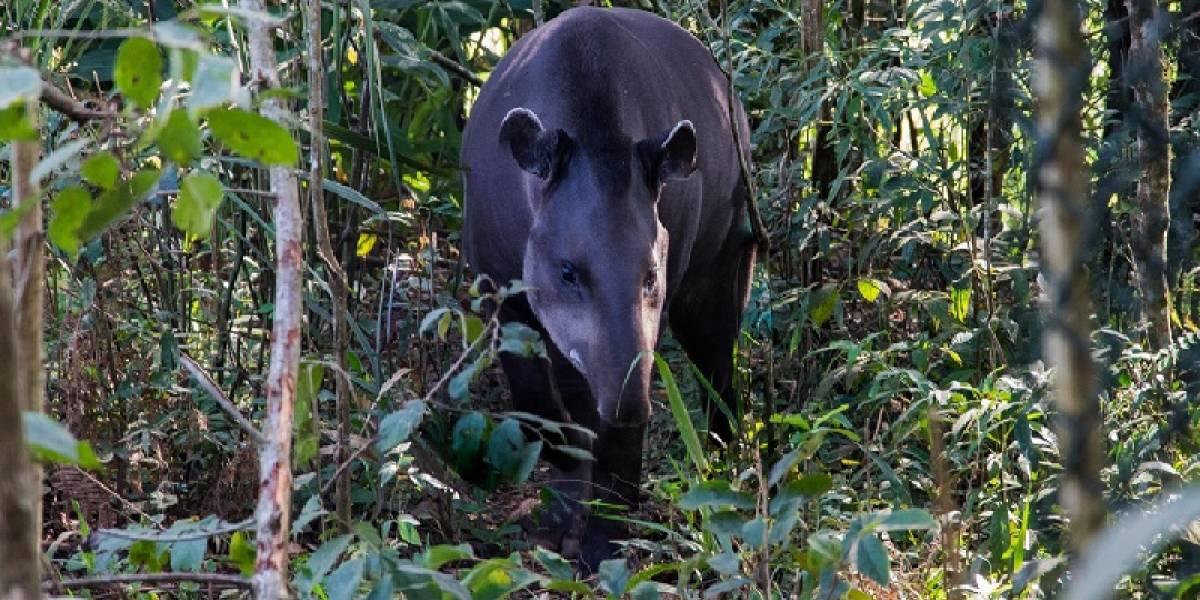 Quase extintas no RJ, antas retornam às florestas do Estado