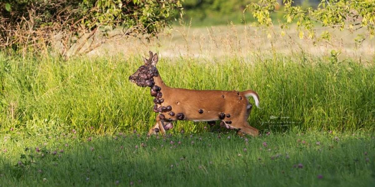 Fotógrafa clica imagens chocantes de cervo com o corpo coberto de tumores e pede ajuda