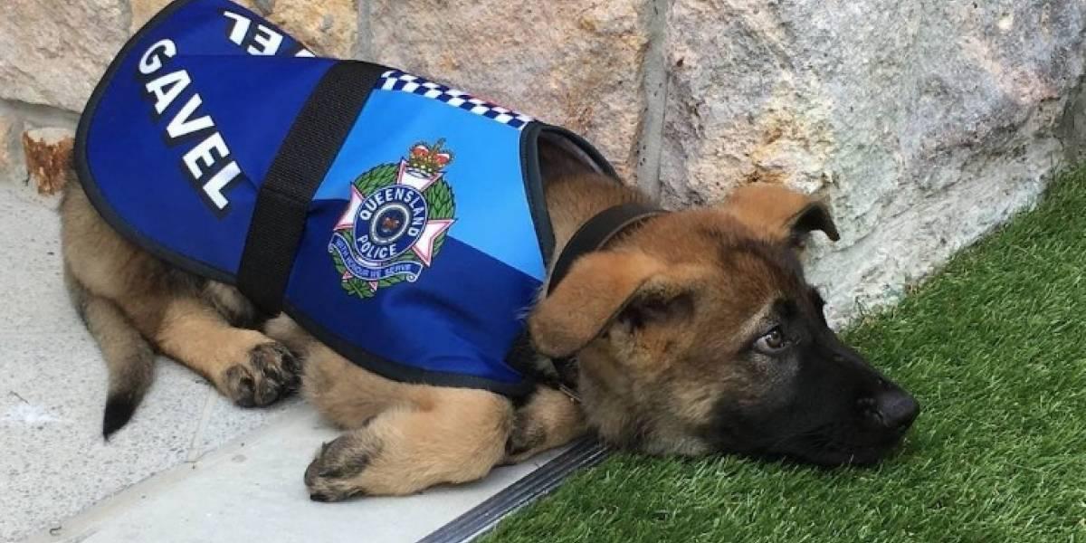 """A este perro policía lo """"despidieron"""" por ser demasiado dulce"""