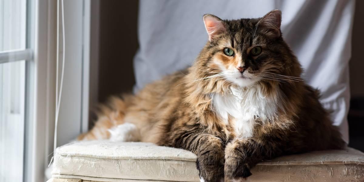 Un estudio que preocupa: los gatos son más susceptibles de contagiarse coronavirus