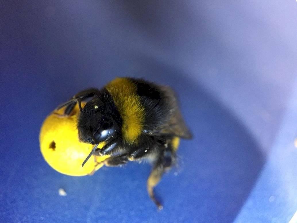 Insólito: Científicos entrenan abejas para que jueguen con pequeños balones de fútbol