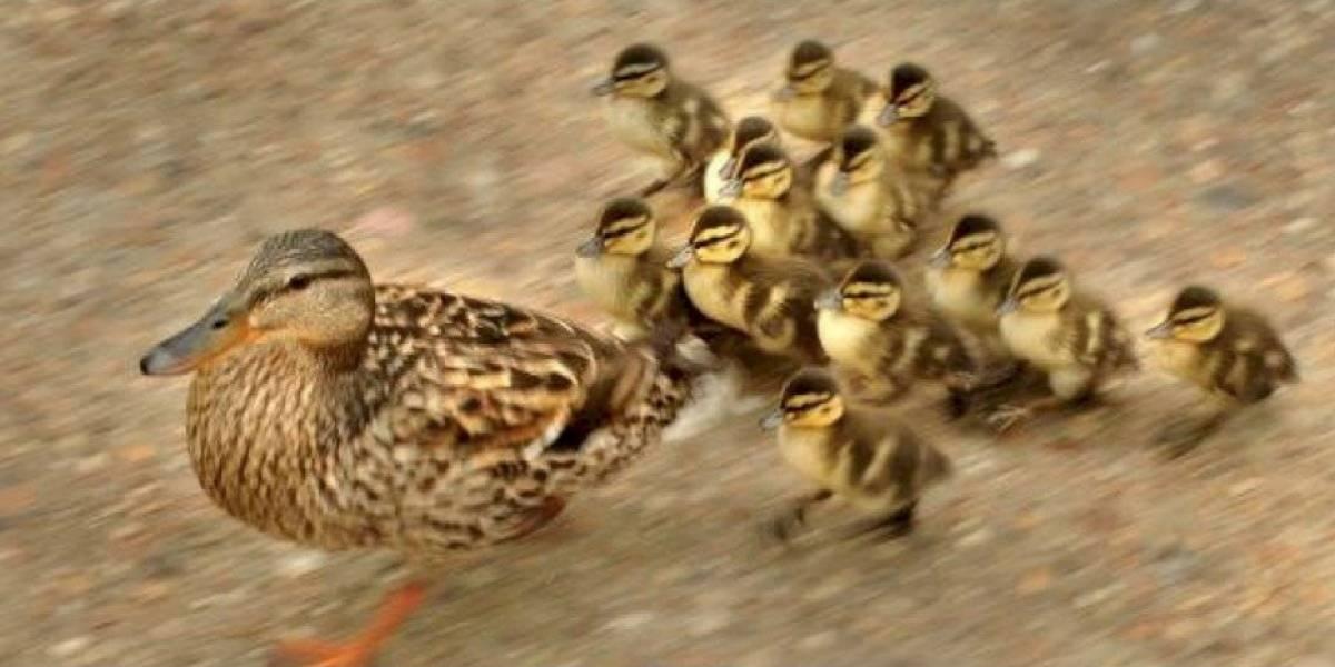 Indignante: hombre atropella intencionalmente a familia de patos en un charco