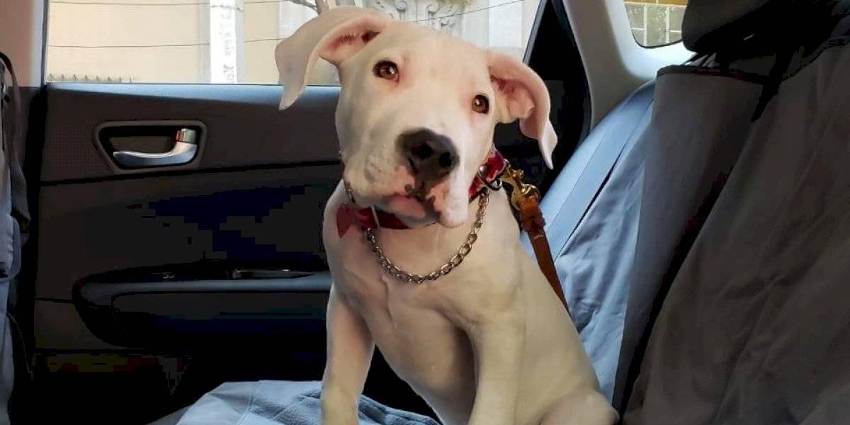 Traer al perro en el auto sin sujeción es tan peligroso como distraerse por celular