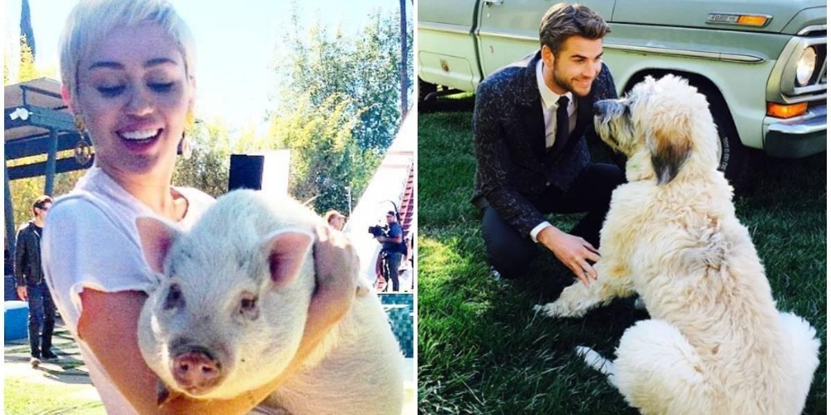 ¿Qué pasará con las 13 mascotas de Miley Cyrus y Liam Hemsworth luego de su separación?