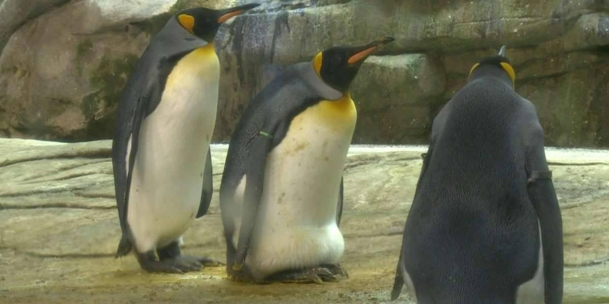 Pareja de pingüinos macho adoptan un huevo en zoológico de Berlín