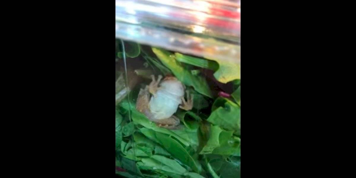 ¡Uyyyy! Familia encuentra una rana viva dentro de ensalada