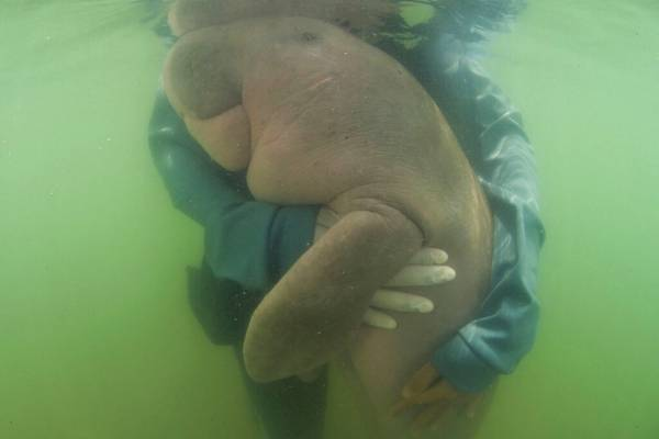 Nueva víctima del plástico: la triste muerte de la vaquita marina que se volvió viral por abrazar a sus rescatistas tras quedar huérfana