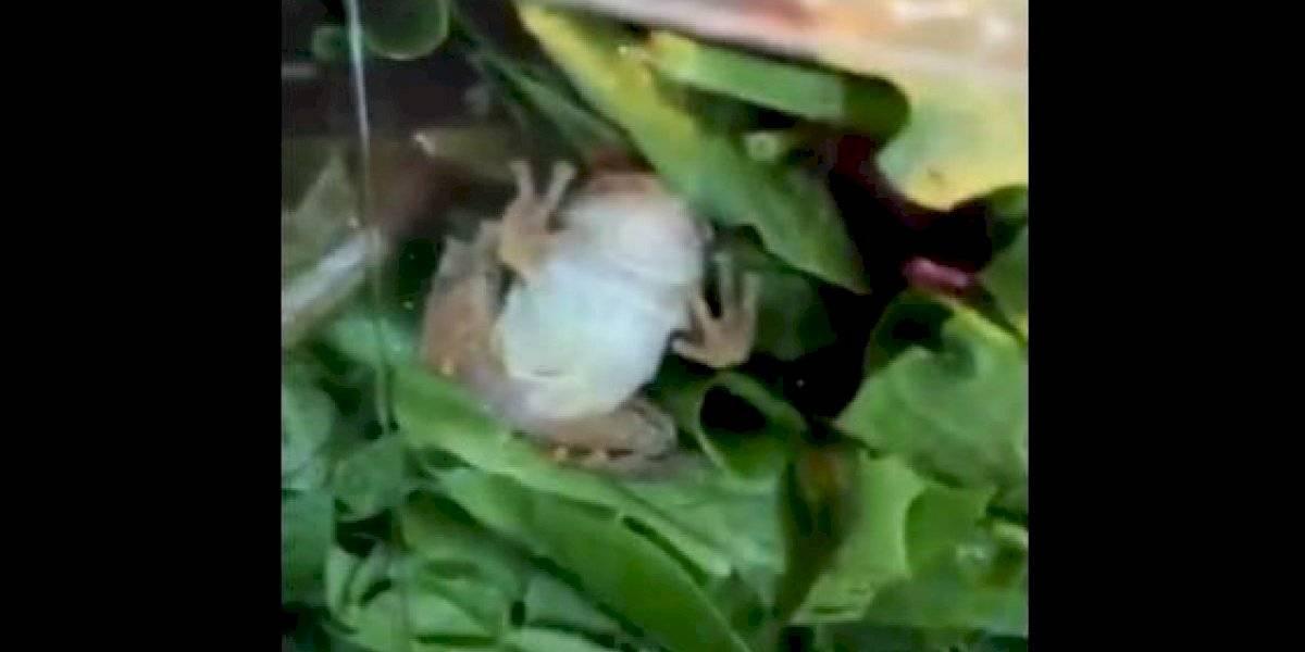"""""""Eso demuestra que es legítimamente orgánica"""": compraron una ensalada y cuando estaban """"listos"""" para comerla encontraron una rana viva"""