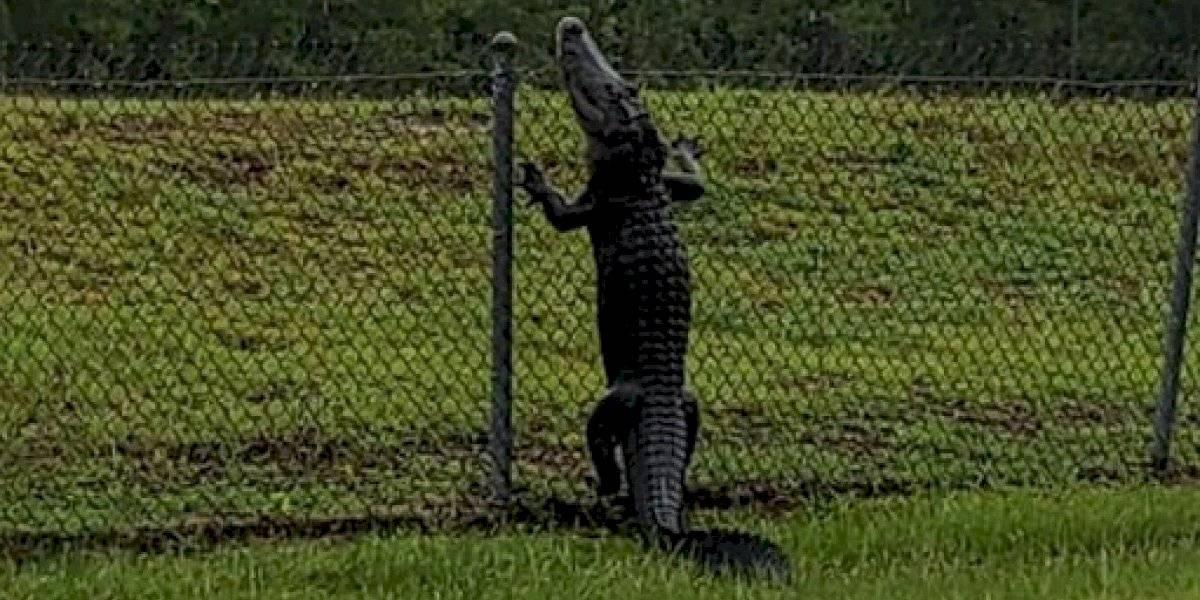Revelan que una de las peores pesadillas se convirtió en realidad: caimanes aprenden a escalar las rejas y aterrador video se convirtió en viral