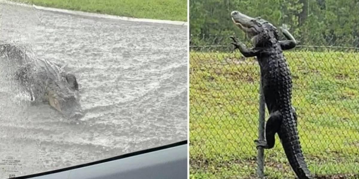 Vídeos de crocodilos pulando cerca e 'nadando em rua' se tornam virais e preocupam a Internet
