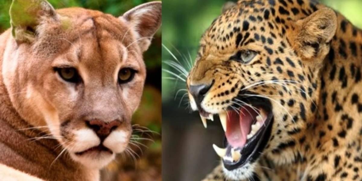 El extraño felino que nació tras el cruce entre un leopardo y un puma