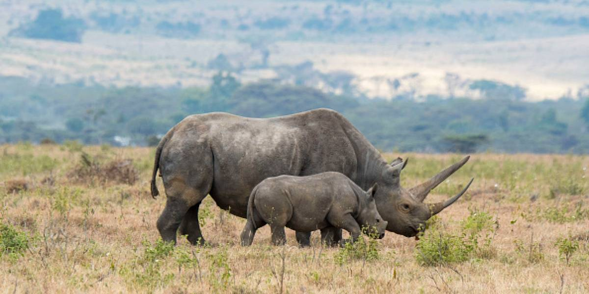 Polémica medida de conservación: Sudáfrica aumenta cantidad de rinocerontes negros que cazadores pueden matar cada año