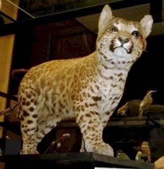 El extraño felino que nació tras el cruce entre un leopardo y un puma Internet
