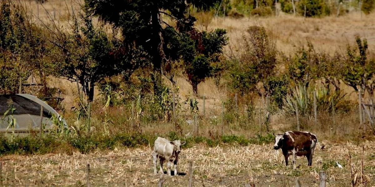 Emergencia agrícola: megasequía obliga a trasladar más de 500 animales desde el Choapa a Ñuble