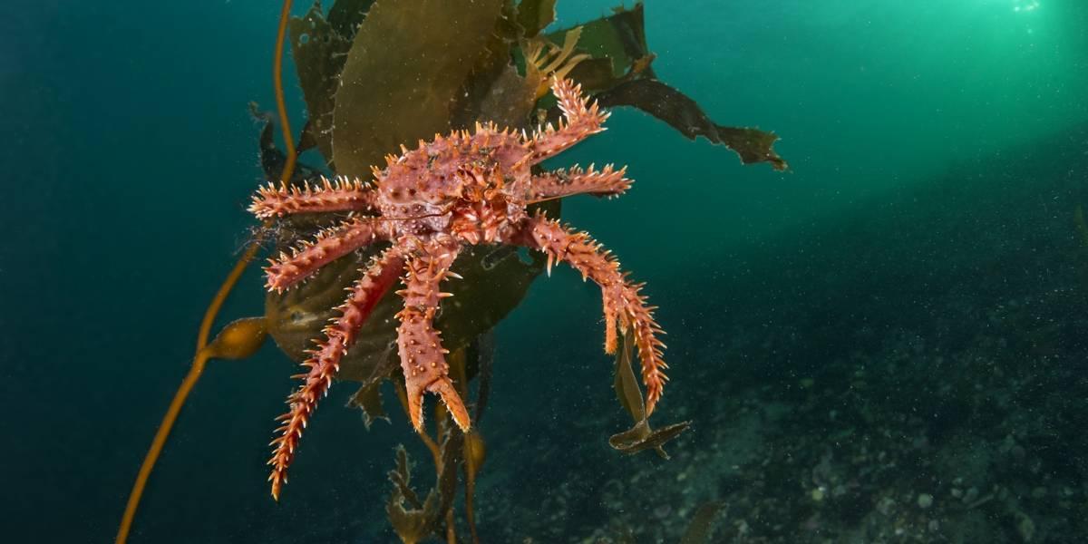 Centolla 'impotente' ante el cambio climático: estudio plantea que su reproducción corre peligro en Chile si se calientan los mares