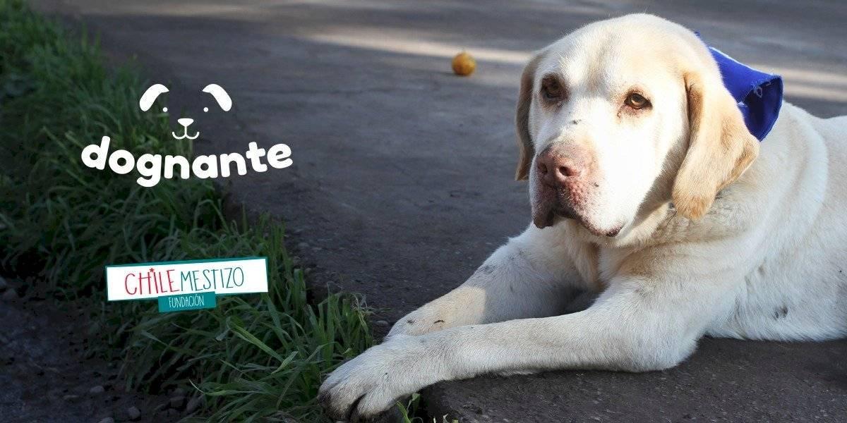 """""""Chile Mestizo: Primera fundación de animales camino a la sustentabilidad en Chile, gracias a la campaña """"DOGNANTE"""""""