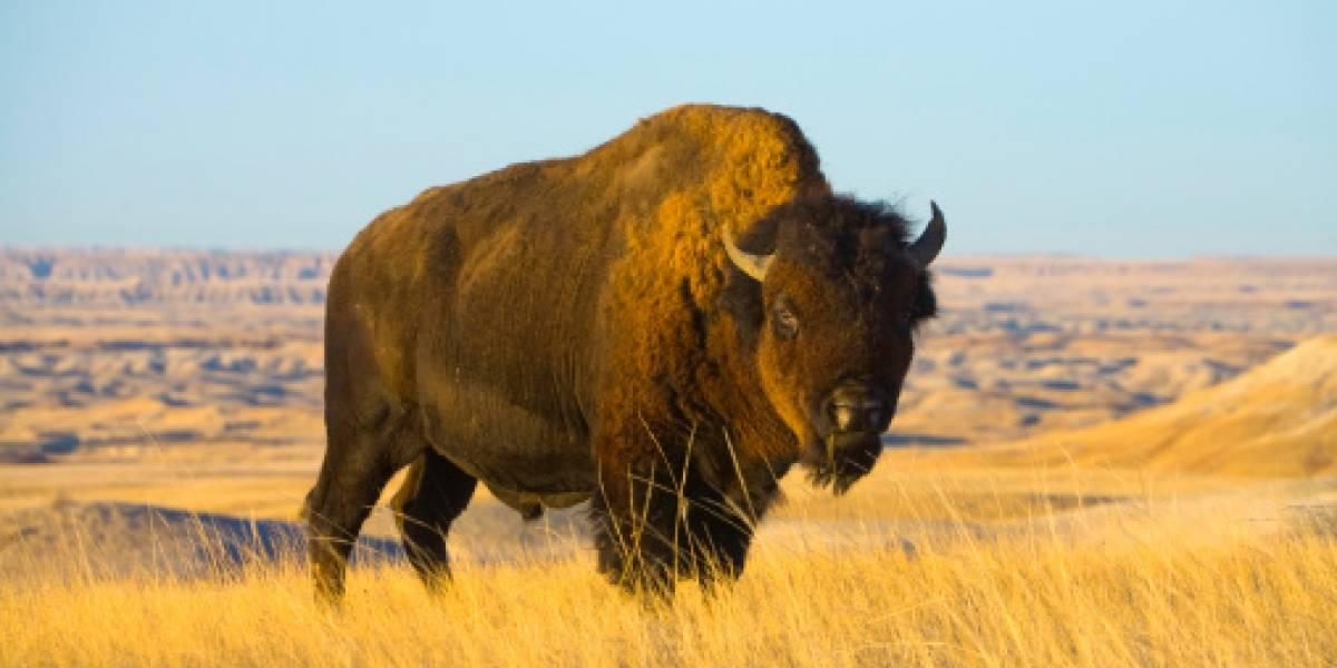Familia logra impactante registro: bisonte usa toda la fuerza de sus 900 kilos y se abalanza sobre vehículo