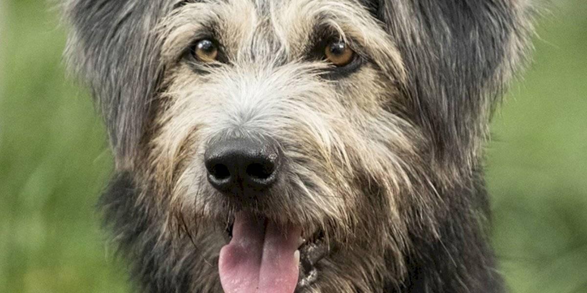 """Conoce la conmovedora historia del perrito callejero que protagonizará """"La Dama y el Vagabundo"""""""
