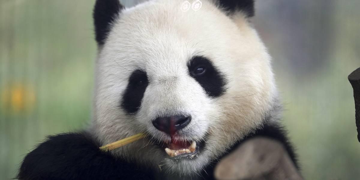 La panda Meng Meng del zoológico de Berlín está embarazada