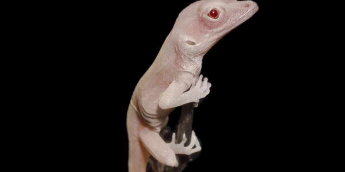 CRISPR: Lagartijas albinas fueron el resultado de la primera modificación genética hecha a reptiles