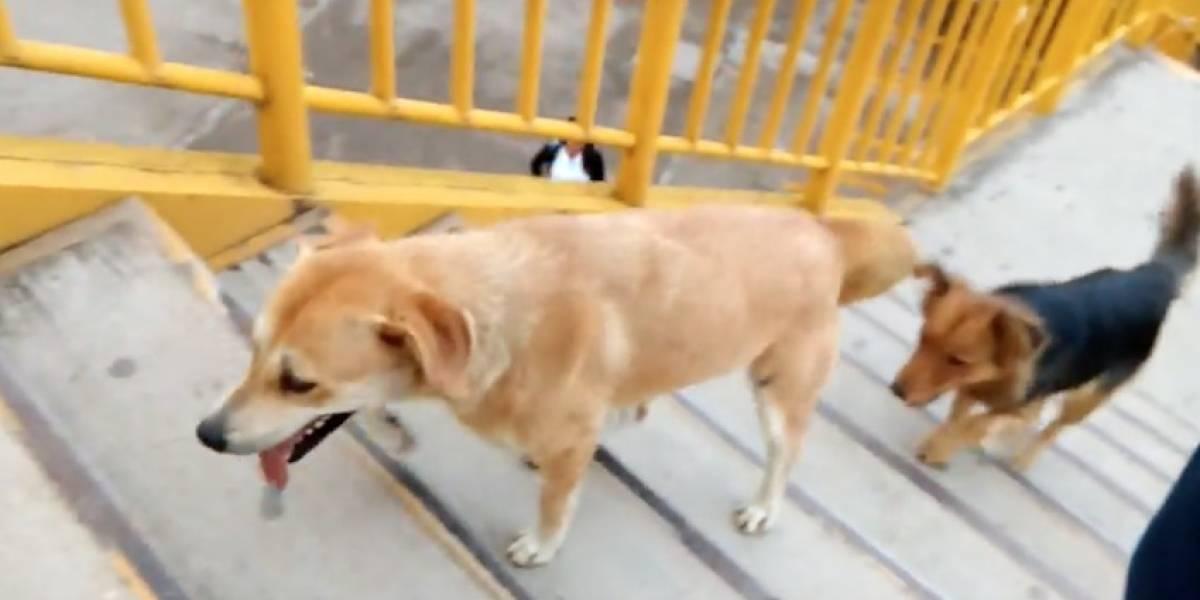 Perros cruzan avenidas usando puentes peatonales, y las personas no
