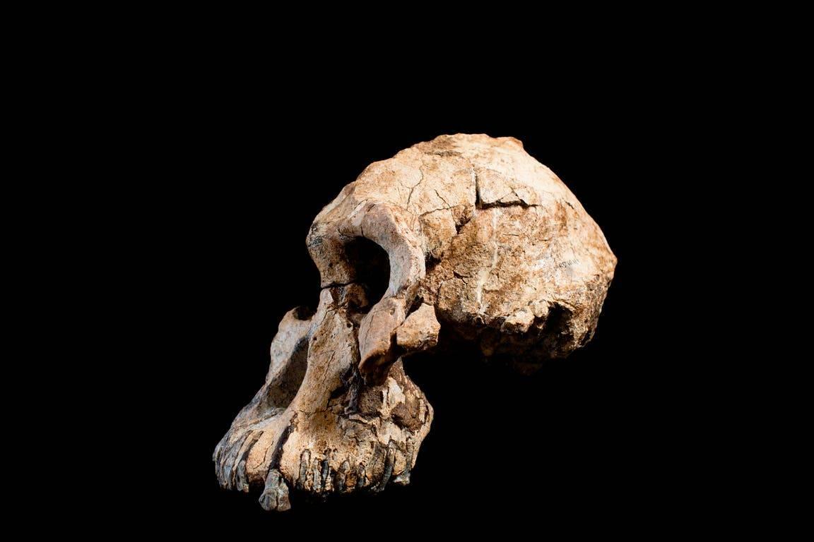 Científicos descubren cráneo humano completo de hace 4 millones de años