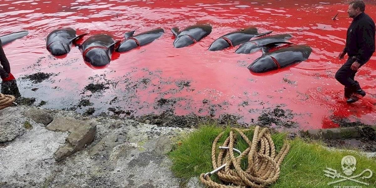 Arrastradas y sacrificadas a golpes: las brutales imágenes de casi un centenar de ballenas víctimas de tradicional matanza en el Ártico Norte