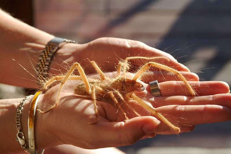 """De miedo: Científicos descubren nuevo tipo de araña denominada """"camello"""""""