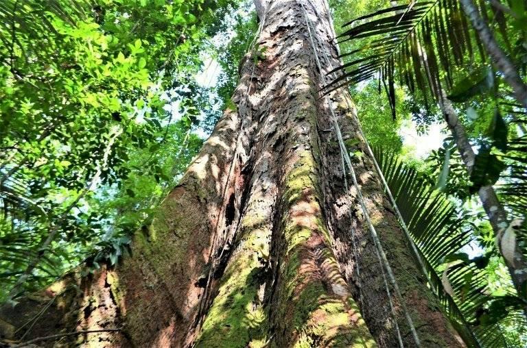 Amazonía - árbol Brasil