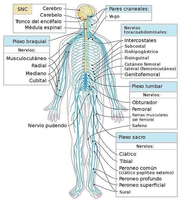 ientíficos afirman que la enfermedad del Parkinson se origina en los Intestinos
