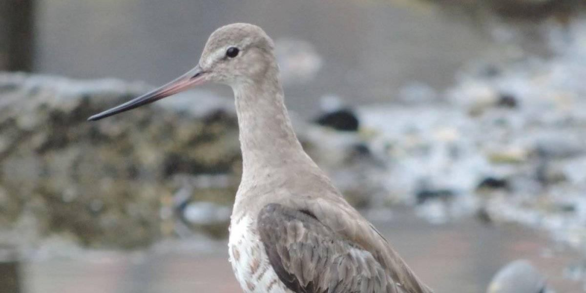 Peligra una de las maravillas de la naturaleza: interferencia humana en costas chilenas amenaza colosal travesía de las aves migratorias