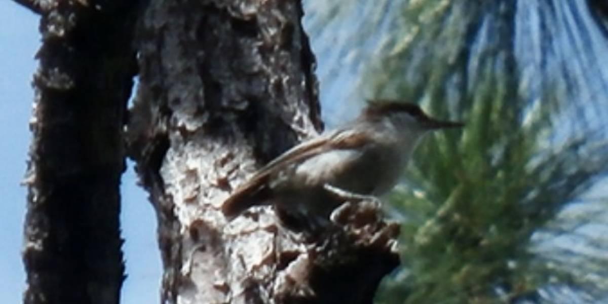 Las otras víctimas de Dorian: habría causado la extinción de un pequeño pájaro en Bahamas