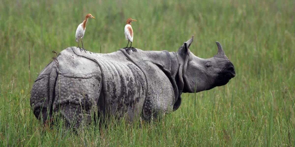 ¿Cuándo se podrán conocer los rinocerontes del Zoológico La Aurora?