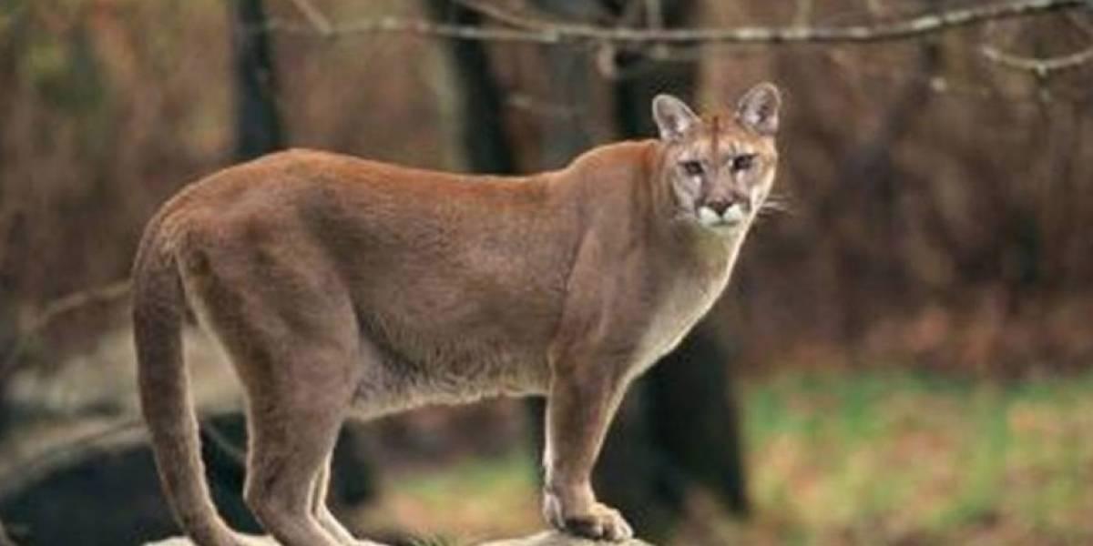 Justicia animal: SAG presenta denuncia por muerte de puma rescatado en Lo Barnechea
